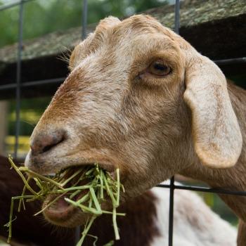 Goat Max Falkowitz